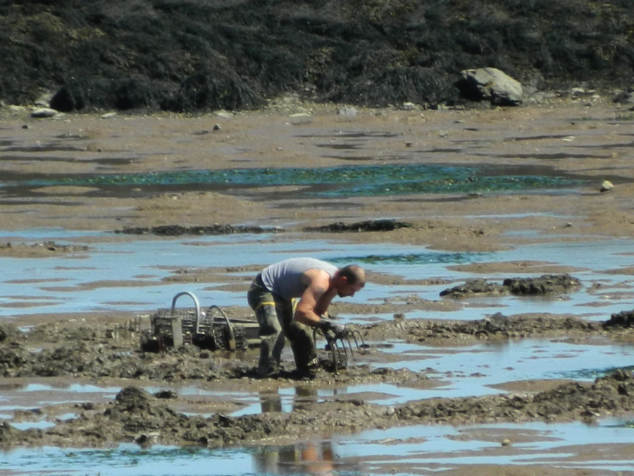 Picture of clam harvester digging on clam flat